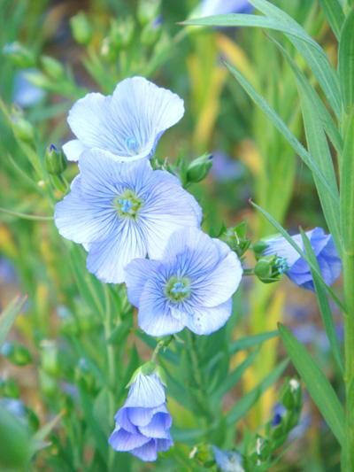 フラックスの花